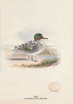 TEAL - Querquedula Crecca, Adult Male